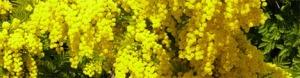 mimosa_8_marzo_festa_donna 1