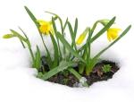 fiori_gialli_neve