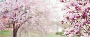 magnolia-trees-556718_1280-728x300